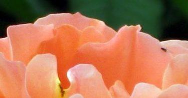 Deutsche Anleitung zur OSHO Mystic Rose Meditation