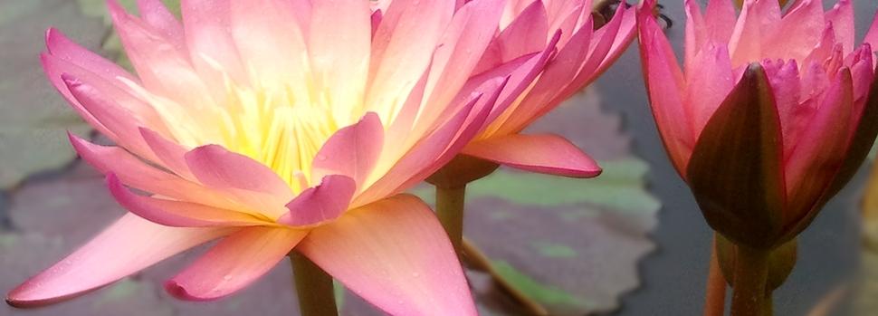 Ohne Angst sterben – wie eine Lotusblüte