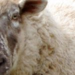 Nein, ich bin kein Schaf. Nur manchmal.