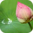 Die Lotus Knospe durchdringt den Schlamm und wächst ins Wasser