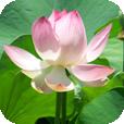 Der Lotus öffnet sich