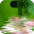 Der Lotus durchdringt den Schlamm und wächst ins Wasser
