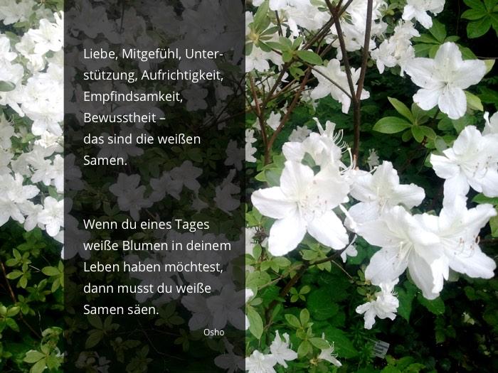 Weiße Samen säen - Osho Zitat