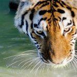 Über Tiger, das Hara und die Lebensfreude