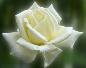 Achtsam eine Rose beobachten - was bedeutet das?